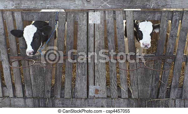 cow farm agriculture bovine milk - csp4457055