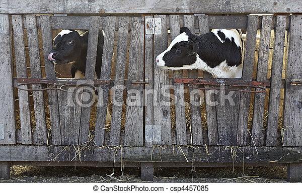 cow farm agriculture bovine milk - csp4457085
