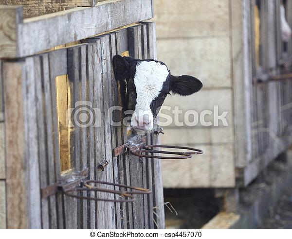 cow farm agriculture bovine milk - csp4457070