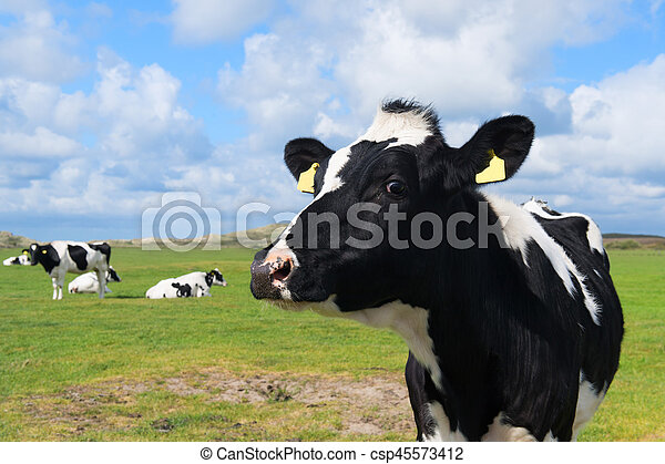 Cow in Holland - csp45573412