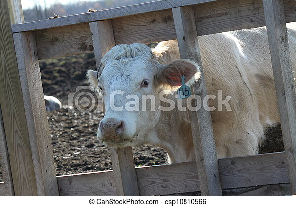 Cow in Transfer-Holding Pen - csp10810566