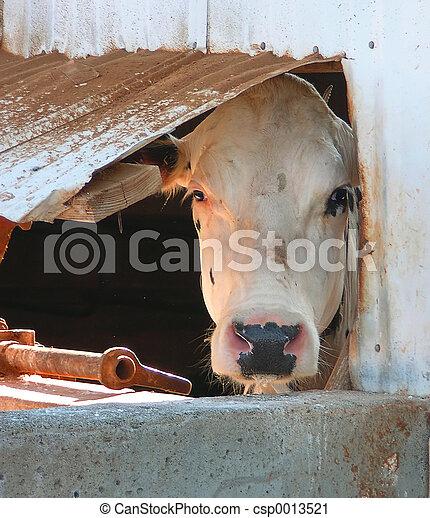 Cow in window - csp0013521