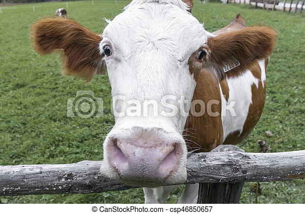 Cow on a meadow in austria - csp46850657