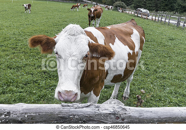 Cow on a meadow in austria - csp46850645