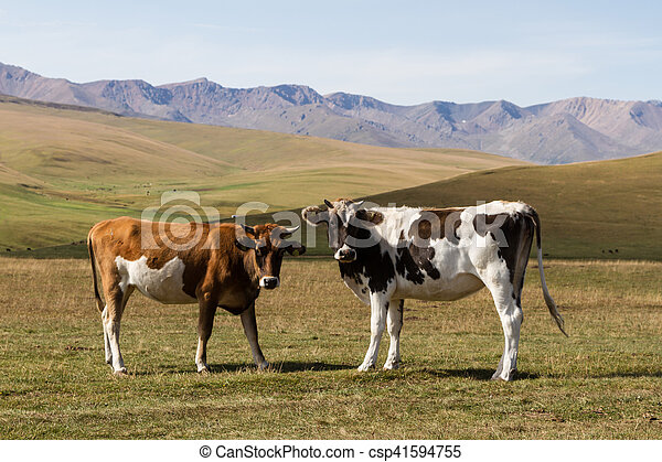 cow on the background of mountains - csp41594755