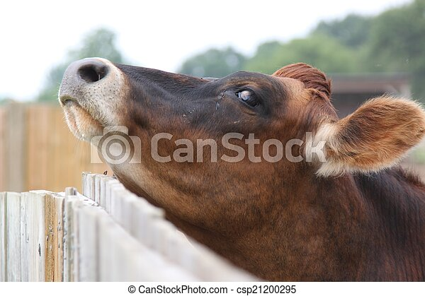 Cow scratches chin on fence - csp21200295