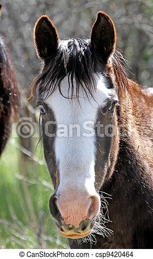 Cowboy pony with white blaze - csp9420464