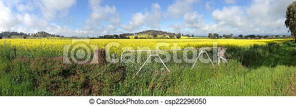 Cowra Canola Field Panorama - csp22296050