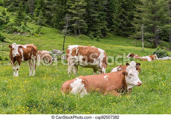 Cows and cattle on a pasture in Austria - csp92507382