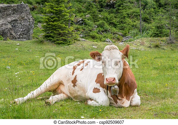 Cows and cattle on a pasture in Austria - csp92509607