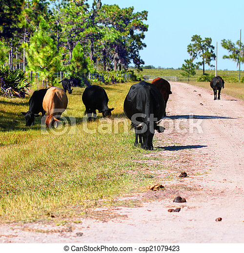 Cows Grazing in Florida - csp21079423