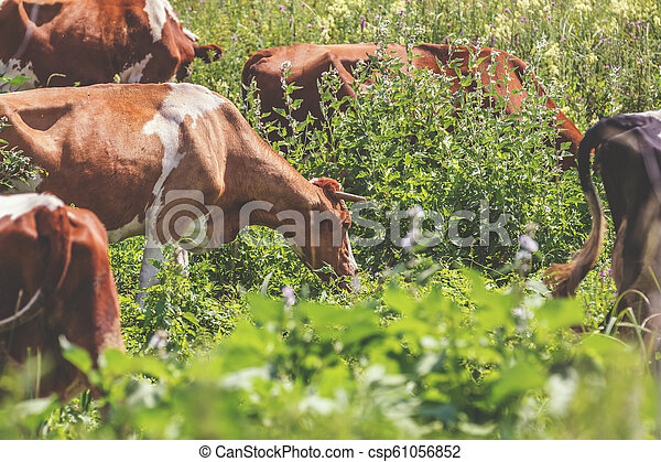 Cows grazing on summer pasture at sunny day. - csp61056852