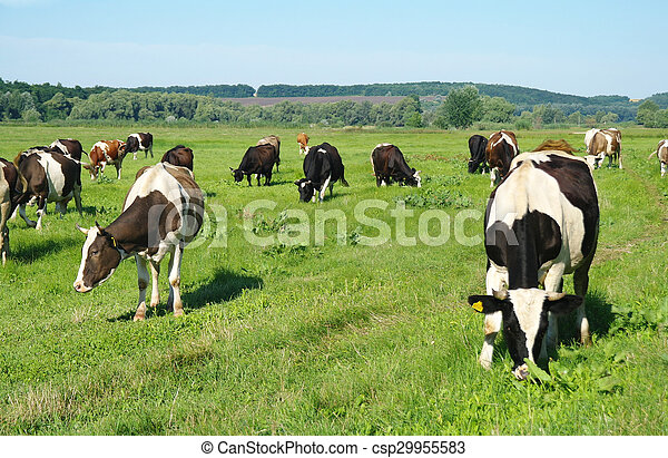 cows in a field - csp29955583