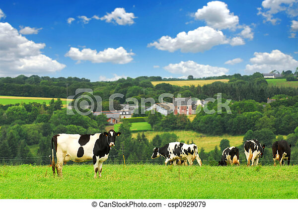 Cows in a pasture - csp0929079