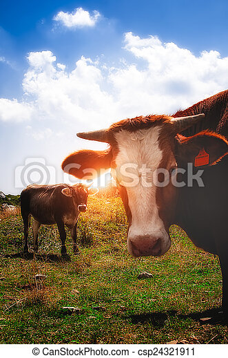 cows in the mountain during the sunset - csp24321911