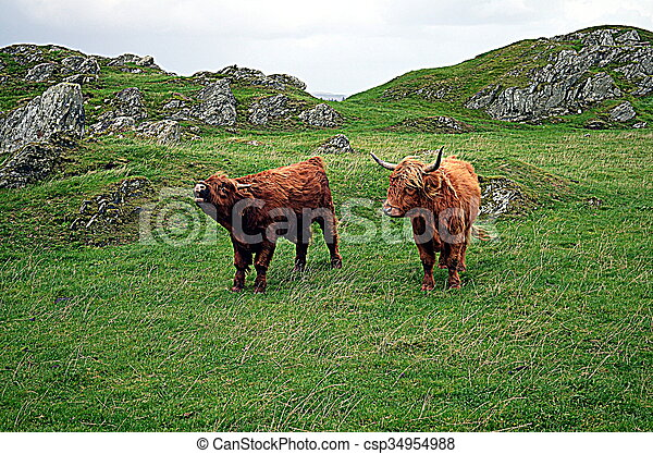 Cows on a pasture in norway - csp34954988