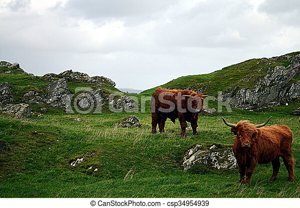 Cows on a pasture in norway - csp34954939