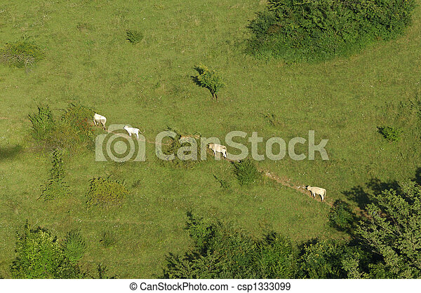 cows walking on a meadow path - csp1333099