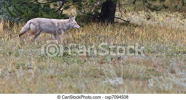 Coyote, Canis latrans - csp7094508