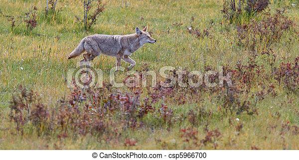 Coyote, Canis latrans - csp5966700