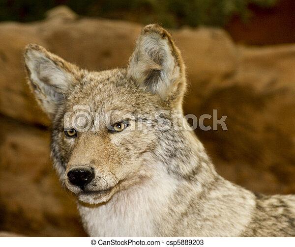 El Coyote se acerca - csp5889203