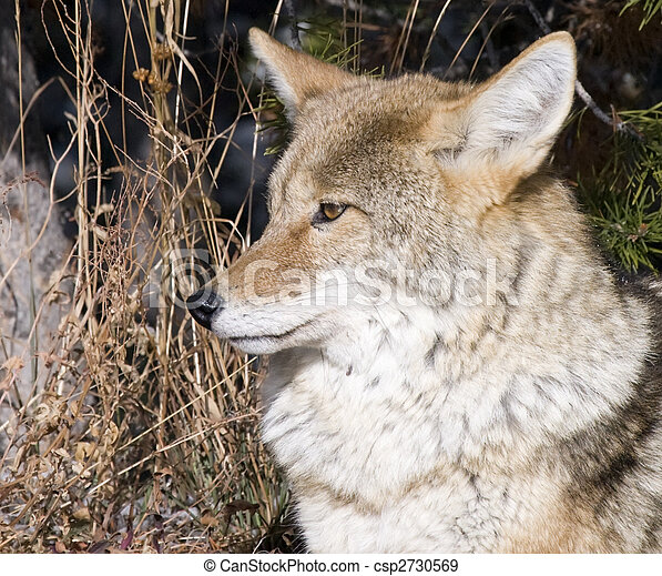 Coyote hunting for a mouse in Yellowstone National Park - csp2730569