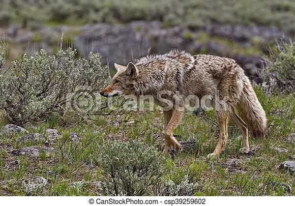 Coyote hunts in Yellowstone - csp39259602