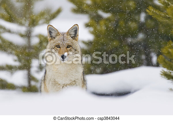 Coyote in Snow Storm. Yellowtone National Park, Wyoming. - csp3843044