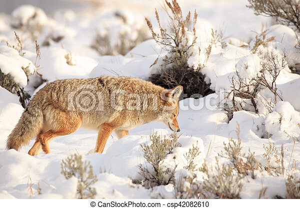 Coyote in Yellowstone National Park. - csp42082610