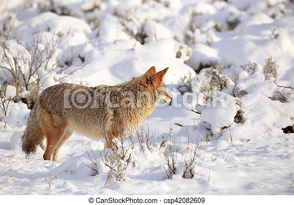 Coyote in Yellowstone National Park. - csp42082609