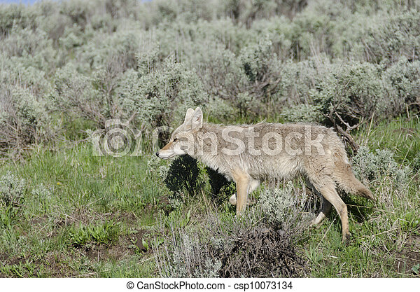 Coyote in Yellowstone National Park - csp10073134