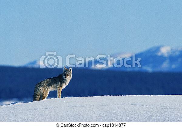 Coyote en invierno - csp1814877