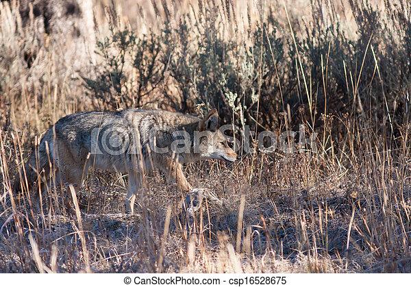 Coyote - csp16528675