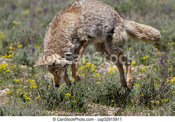 coyote pouncing - csp32915911