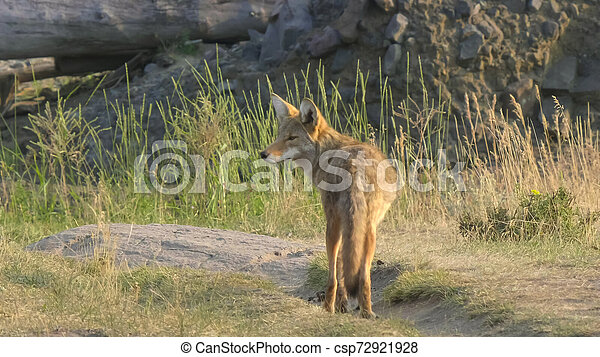 coyote standing in the lamar valley of yellowstone - csp72921928