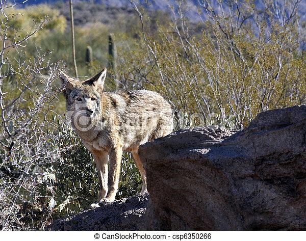 Coyote - csp6350266