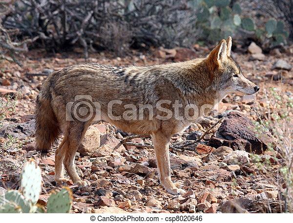 Coyote - csp8020646