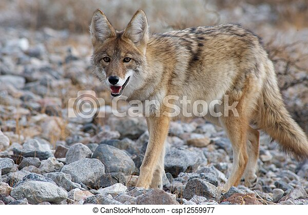 coyote strolling - csp12559977