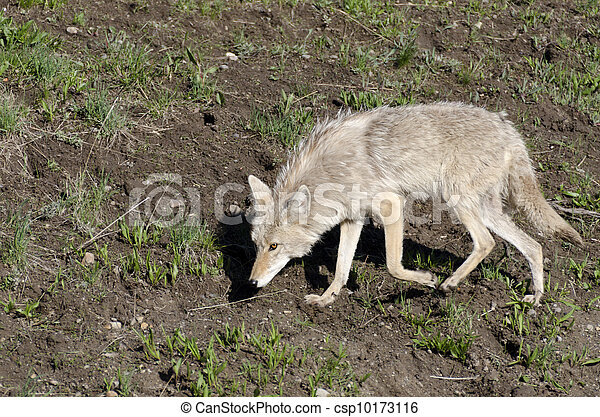 coyotes in Yellowstone - csp10173116