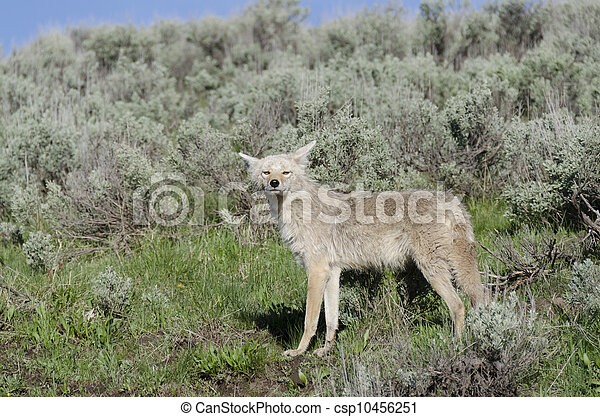coyotes in Yellowstone - csp10456251