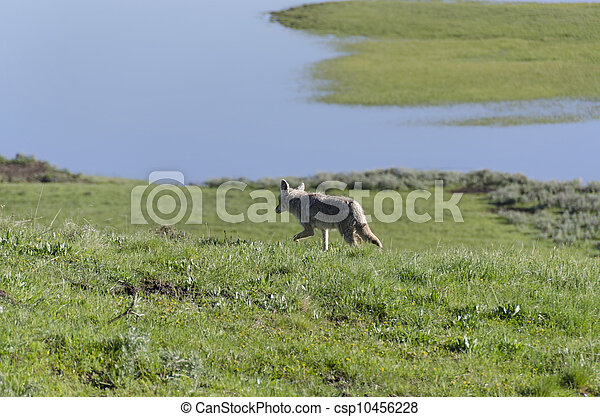 coyotes in Yellowstone - csp10456228