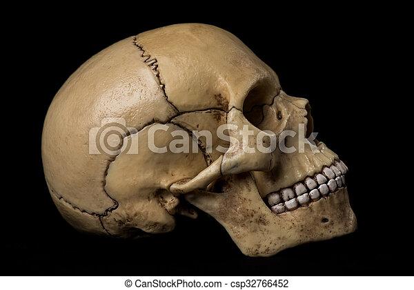 Cráneo humano.