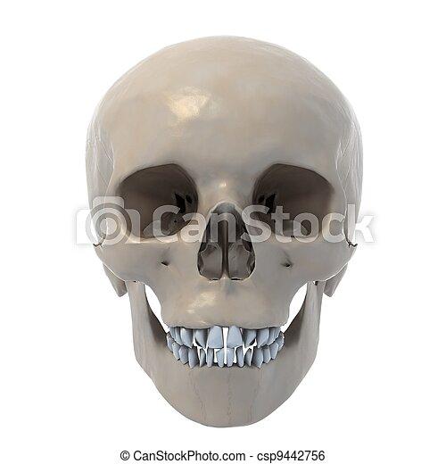 Cráneo humano, ilustración, 3d. Plano de fondo, cráneo, aislado ...