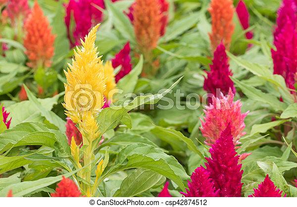 Crête de coq, fleur. (celosia, jardin fleur, cristata ...