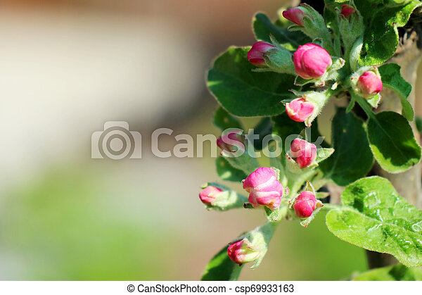 Crab Apple Tree In Full Bloom All The Branches Are Strewed With