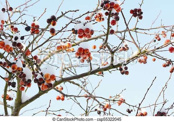 Crab Apple Tree With Red Fruit Covered In Snow Bare Branches Of