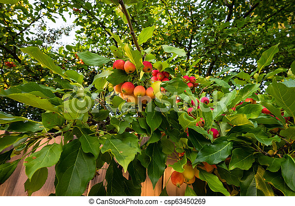 Crab Apples Crab Apple Tree With Ripening Fruits
