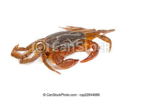 Crab isolated on white - csp22644686