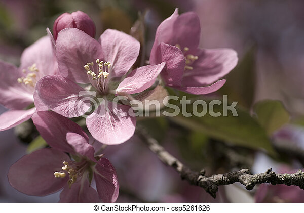 Crabapple Blossoms in Spring - csp5261626