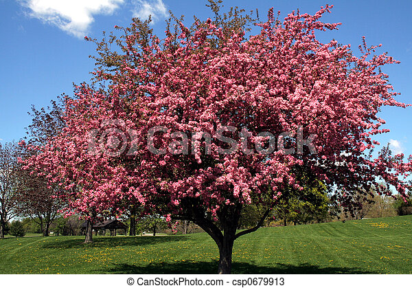 Crabapple tree beautiful pink blossoms on a crab apple tree malus crabapple tree csp0679913 mightylinksfo